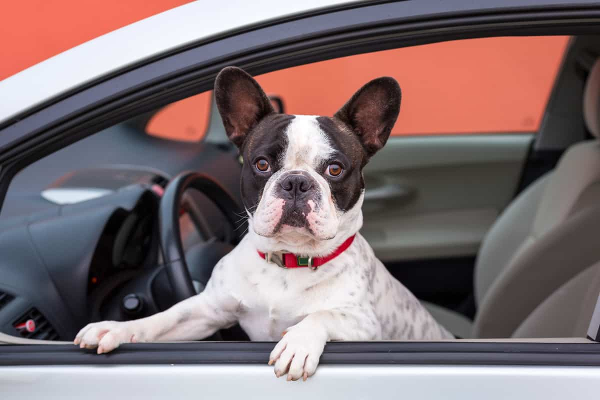 Top 7 Best Car Seat For French Bulldogs: Buyer's Guide