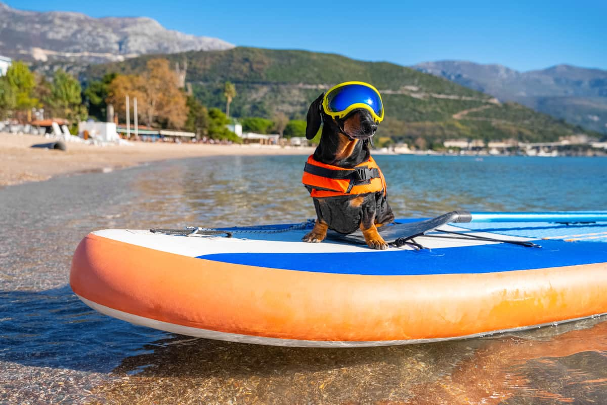 Can Dachshunds Swim? Doxie Tips You NEED to Know