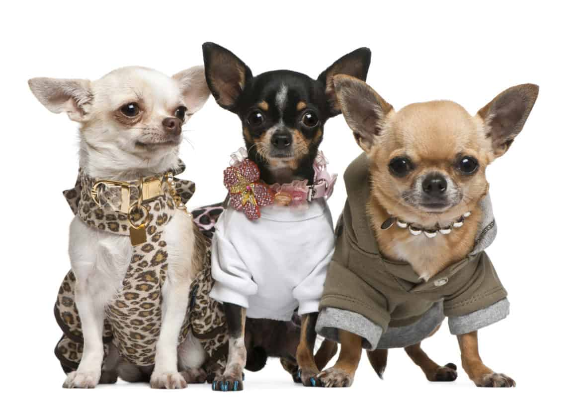 Three Chihuahuas, 2 years old, dressed up and 1 year old, dressed up and3 years old, dressed up and sitting in front of white background