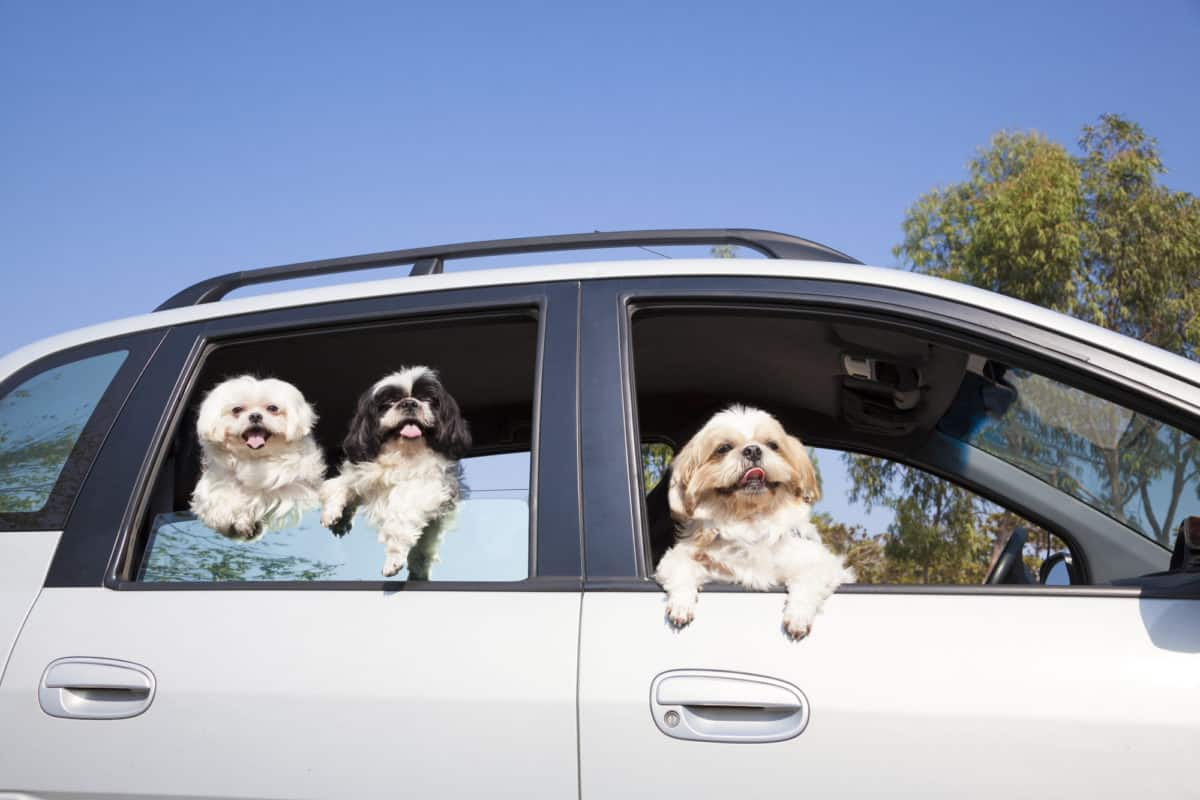 Shih Tzus in car looking out window
