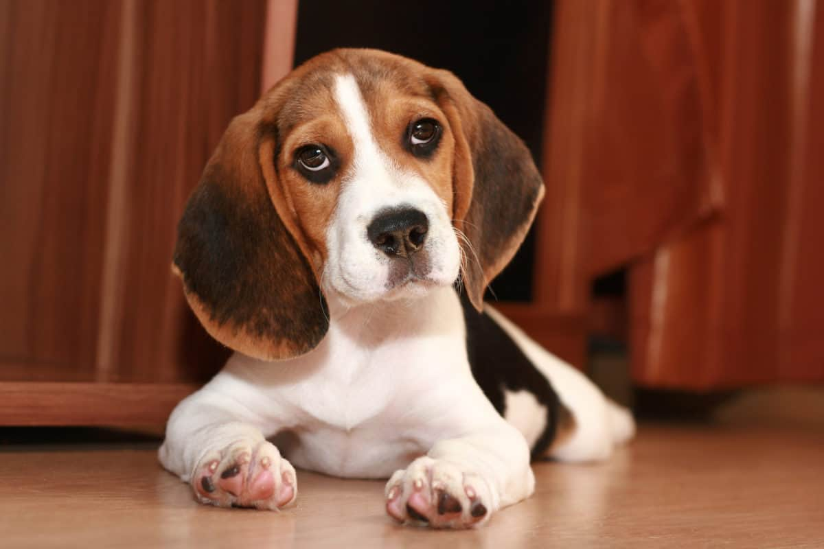 Beagle with tilted head as owner gets ready to brush him