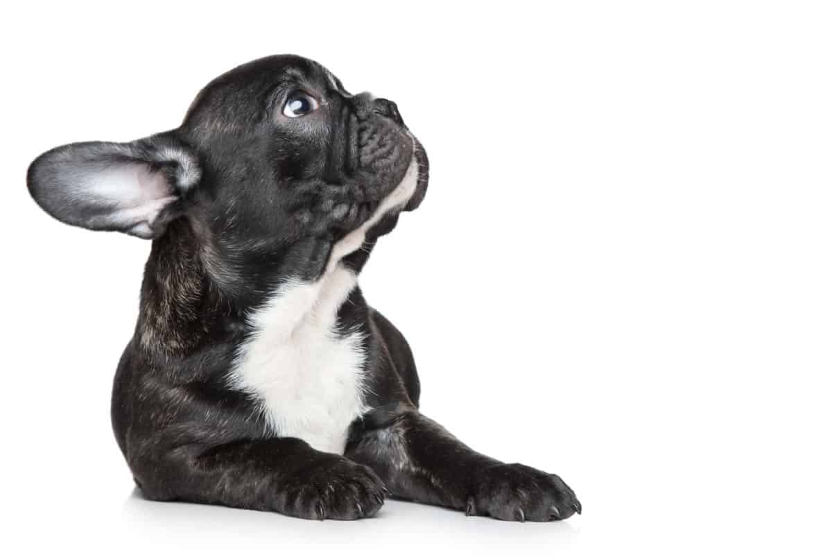 french bulldog puppy looking up to the side with white back drop
