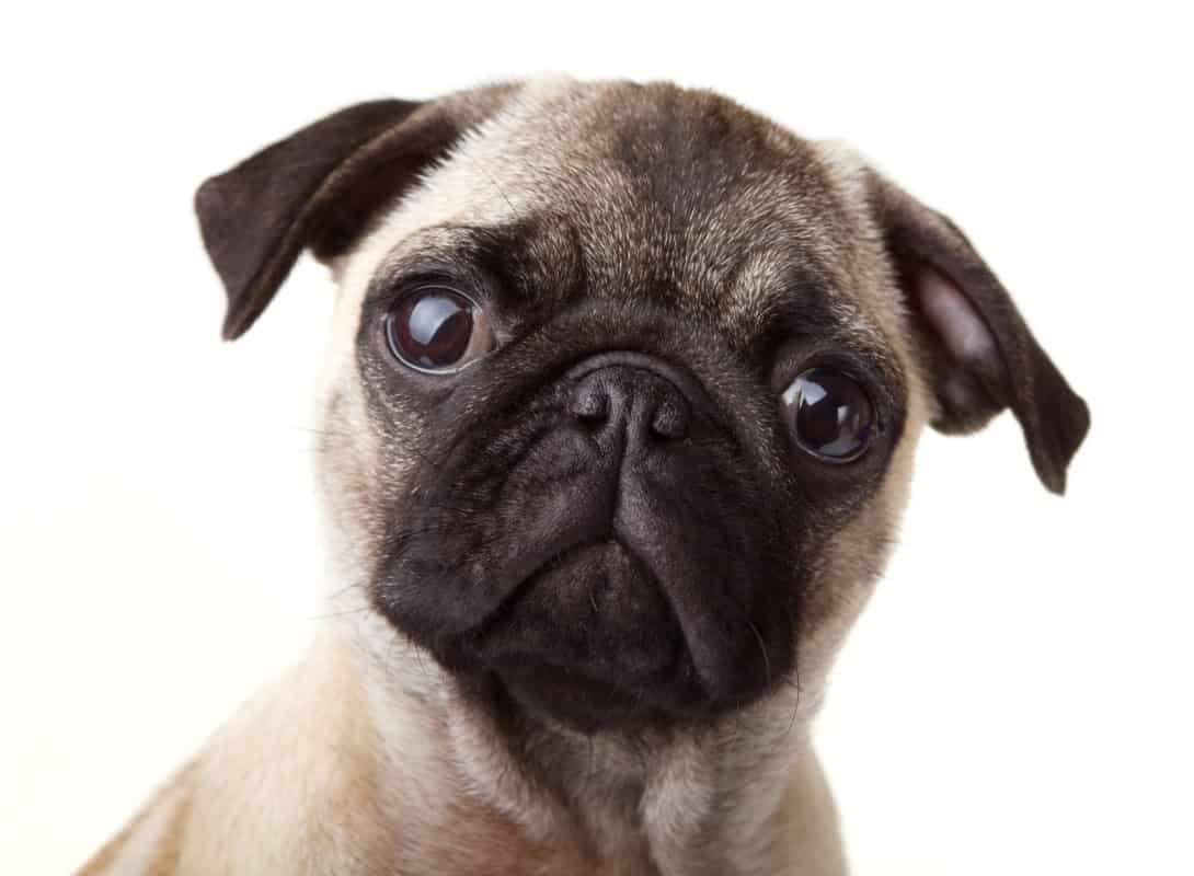 Pug wondering how much a pug cost