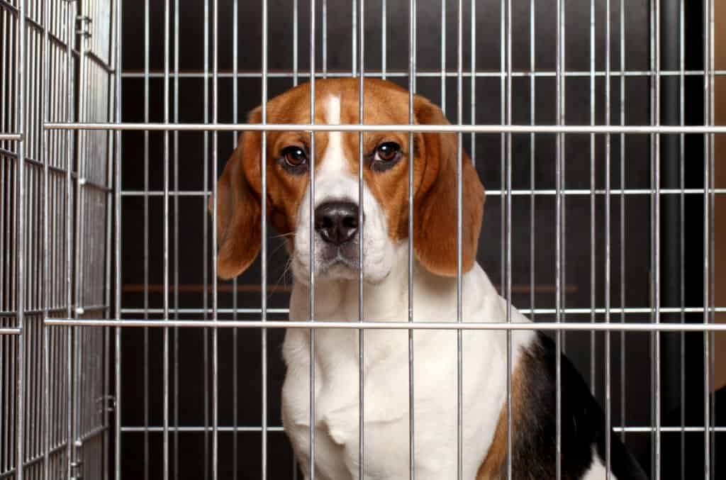 Beagle in crate being trained to use dog crate