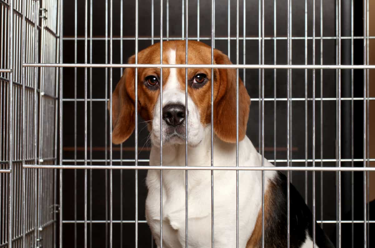 Crate Training a Beagle With These 8 EASY STEPS