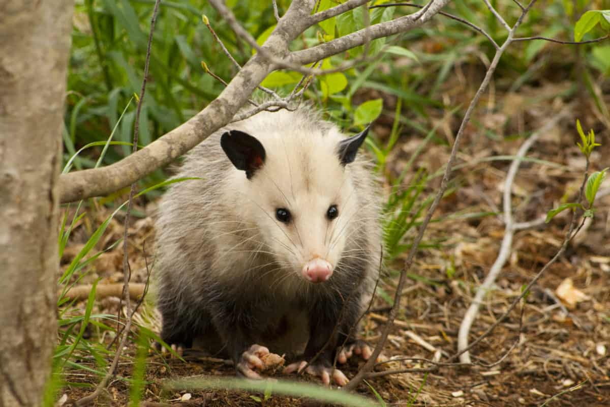 what to do if your dog kills a possum