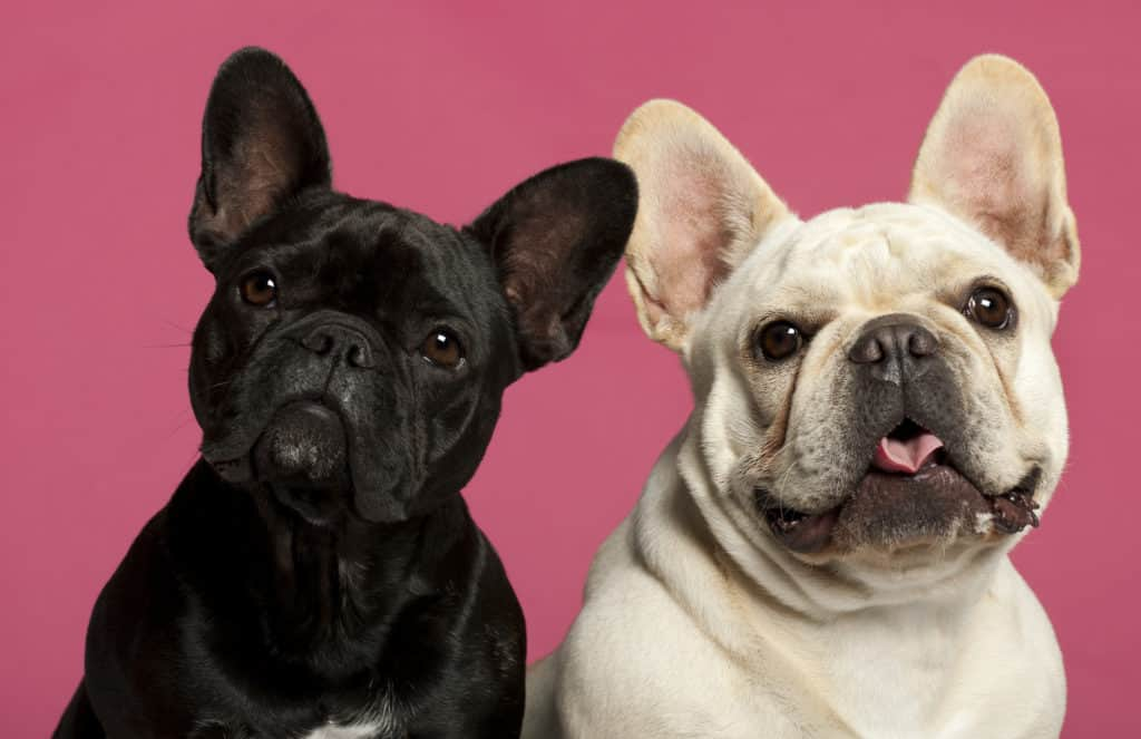 Rare French Bulldog Colors, 2 years old, in front of pink background