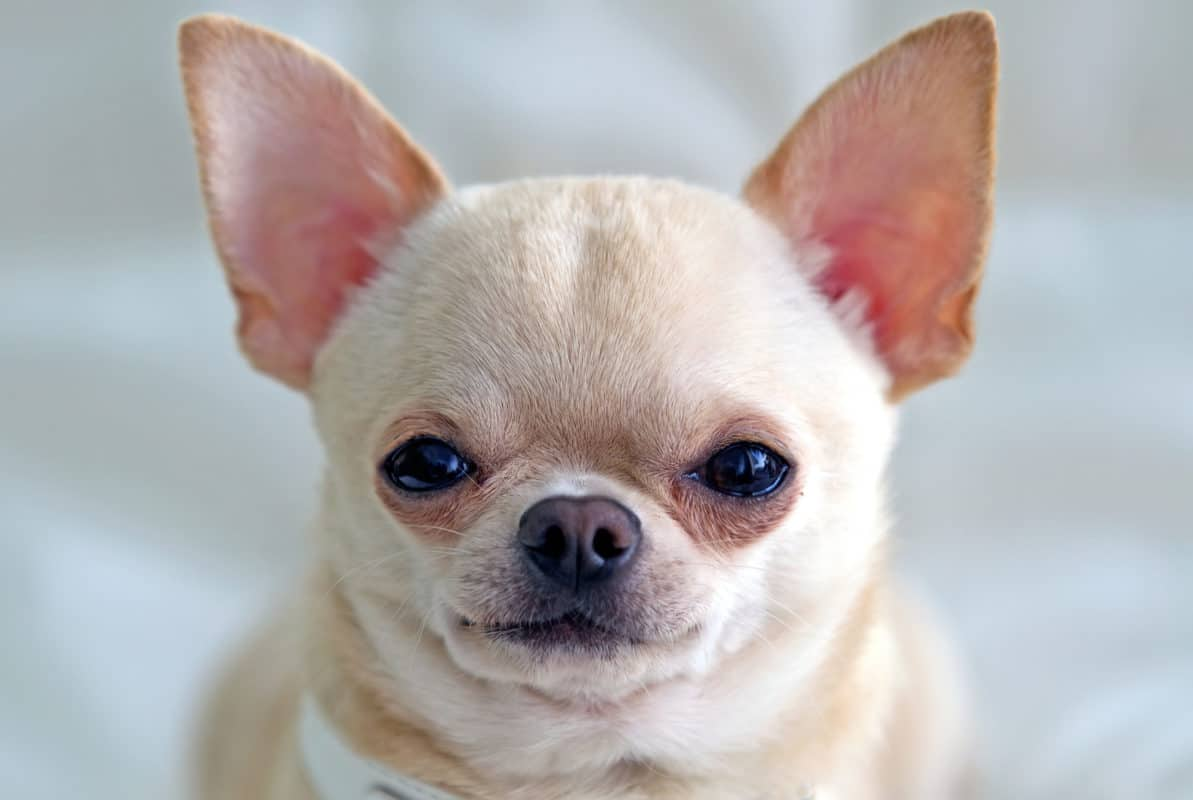 Close up of Chihuahua's Ears Standing Up
