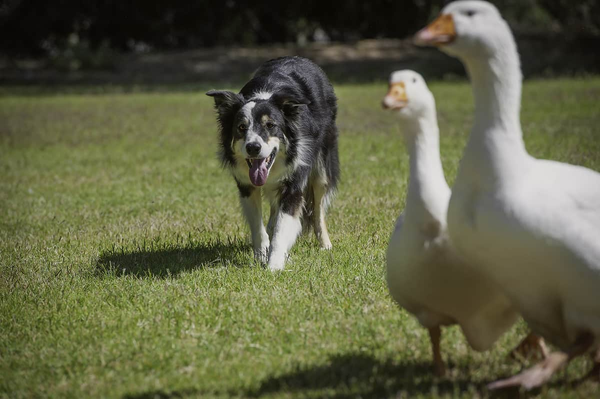Why Does My Dog Eat Goose Poop? Coprophagia Explained