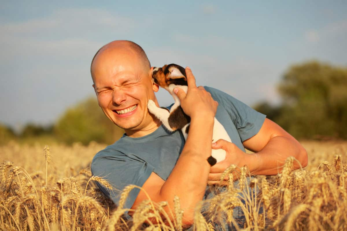 Man in wheat field, afternoon light, holding Jack Russell terrier puppy on hands, moving his head away, because dog is licking and chewing cheek and ear.