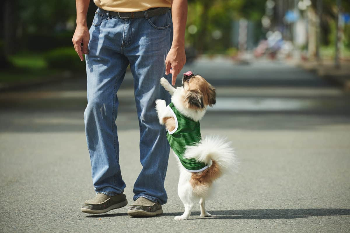 Dog jumping on owner while walking, owner pointing finger down.
