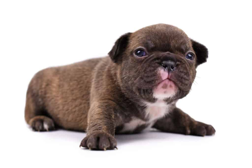 Small 3 weeks old Chocolate brindle colored French Bulldog dog puppy with blue eyes isolated on white background